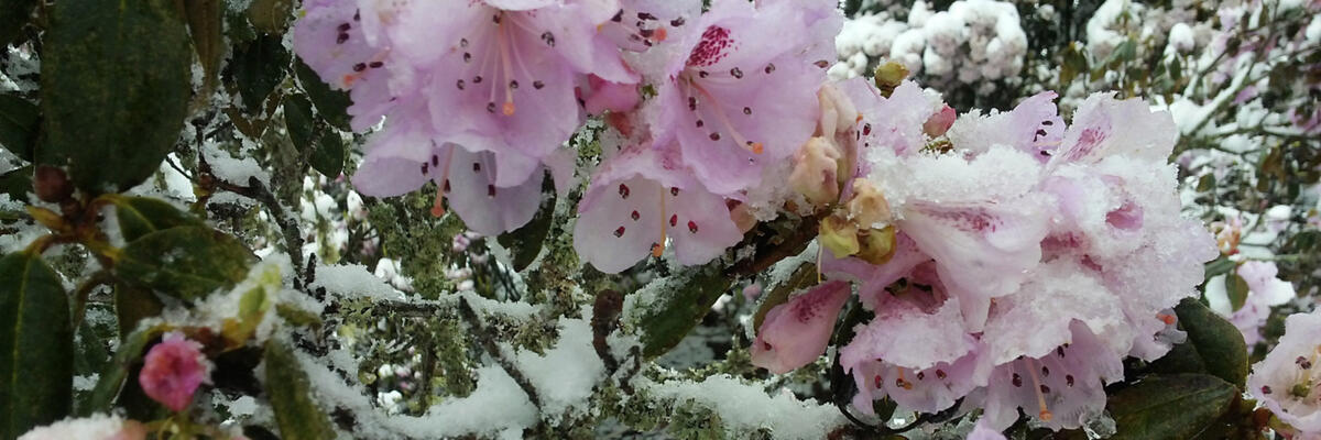 Flowers bloom through the snow as winter fades on Jiaozi Snow Mountain
