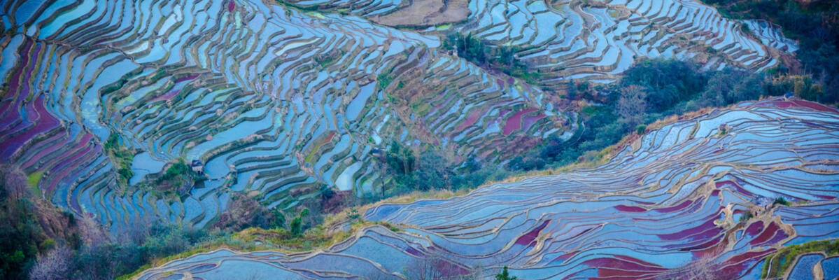 The rice terraces of Yuanyang shimmer with different colors (image credit: Yereth Jansen)