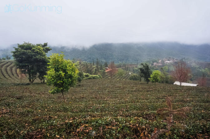 Pu'er tea fields