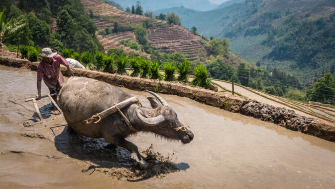 A man plows his rice terrace with a water buffalo in a tributary to the Red River near Shiping, China (photo credit: Stew Motta)