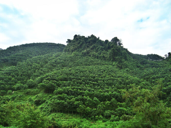 A Dai sacred forest surrounded by rubber trees