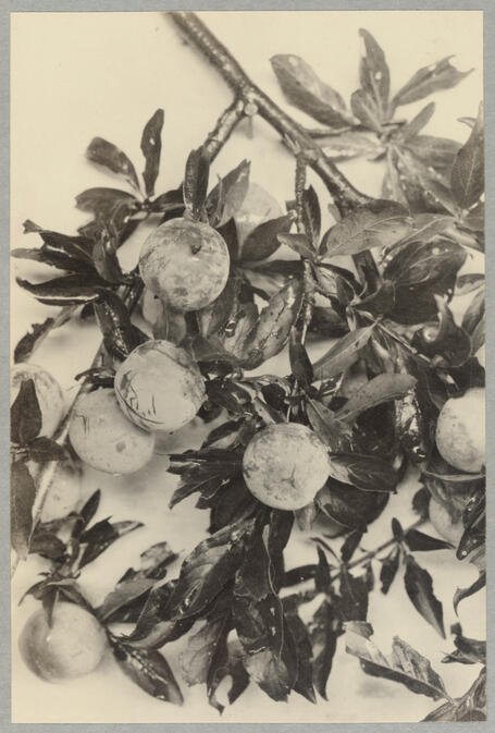 Branch with leaves and fruit September 1, 1922