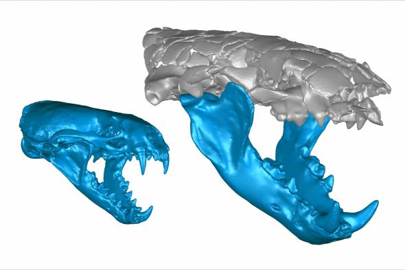 3D reconstructions of a roughly 7-kilogram common otter (left) and that of the 50-kilogram Siamogale melilutra (Image: Jack Tseng)