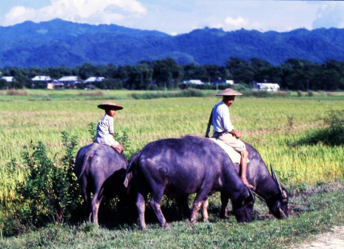 Dai farmer and his son riding water buffaloes outside of Ruili