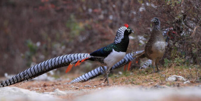 The lovely Lady Amherst's Pheasant lives in the forests of Jiaozi Snow Mountain