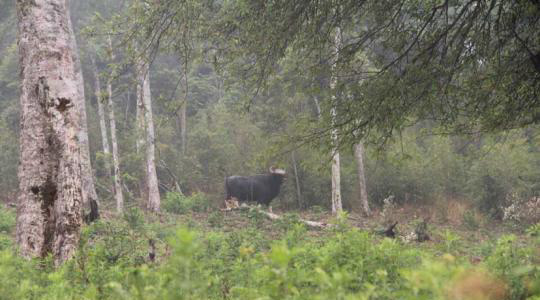 Camera trap photo of a gaur taken in Xishuangbanna May 19