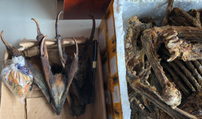 Muntjac deer and unidentified feline bones at a shop in Mongla, Myanmar