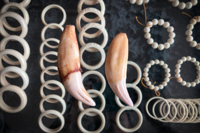 A shop owner displays 'authentic' tiger teeth and ivory in Mongla, Myanmar