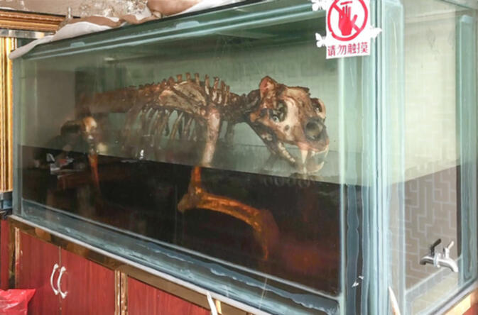 Skeleton, reputedly that of a tiger, marinates to create 'tiger bone wine' in Mongla, Myanmar