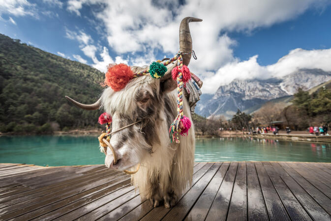 Yak at Blue Moon Valley at the foot Jade Dragon Snow Mountain
