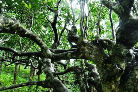 Where it all started: Ancient tea trees in Xishuangbanna