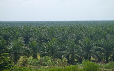 Palm plantation on the way to Port Dickson