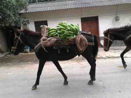 Horses carrying bananas down from the hills (MH)