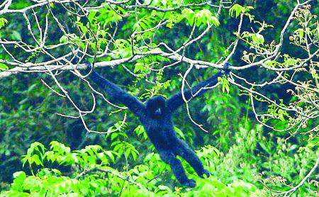 A male western black-crested gibbon