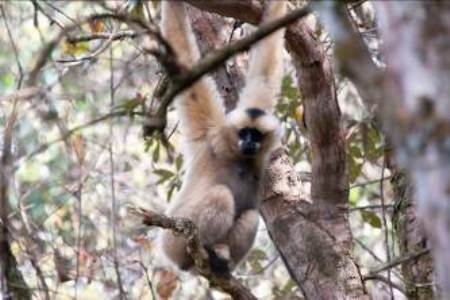 A female western black-crested gibbon in the wild