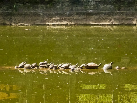 Temple turtles are happy turtles