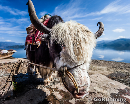 A Yak at Lugu Lake, Yunnan