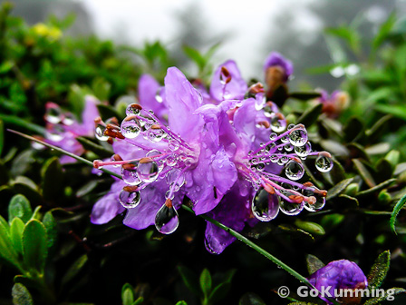 Rhododendron impeditum at 3,800 meters elevation in the mountains of Lijiang (photo: Robbie Hart)