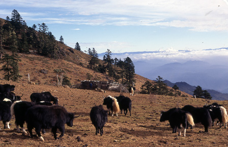 Yaks on Yao Mountain, Ninglang County
