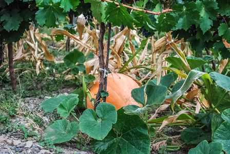 A pumpkin growing between rows of grape vines