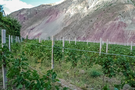 Vineyard beside the Lancang River