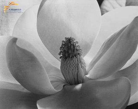 Magnolia by Imogen Cunningham (1925)