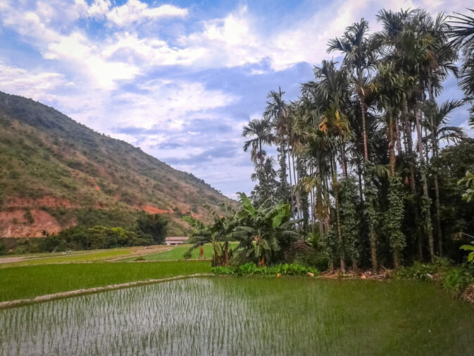 Rice paddies, palms, and mango trees in Damuyu Village
