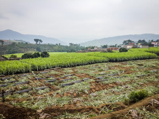 Much of the sugarcane sold in Kunming each winter comes from Xinping County