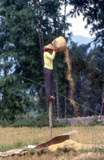 Winnowing grain near Mengma