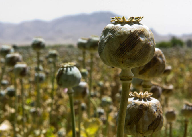Un report golden triangle opium trade still expanding gokunming a report released this week by the united nations shows opium production in southeast asia continues to rise despite eradication efforts in several mightylinksfo