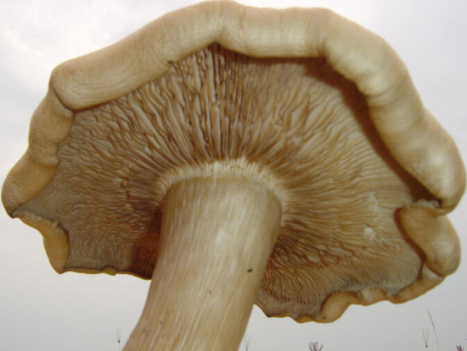 Close-up of a Tricholoma giganteum mushroom like the one found in Pu'er