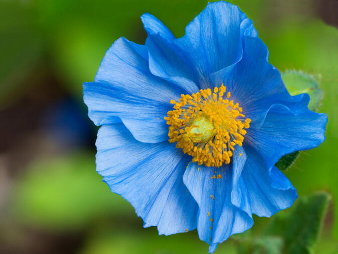 A Himalayan Blue Poppy, collected by George Forrest in Yunnan