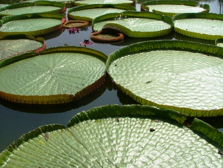 Giant lily pads at the Xishuangbanna Tropical Flowers and Plants Garden