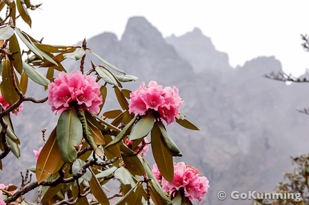 <i>Rhododendron beesianum</i> at 3,900 meters