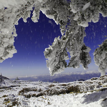 A pine tree weighed down with snow on Jiaozi Snow Mountain
