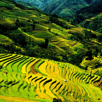 In early fall, the Hani Rice Terraces in Yunnan turn golden yellow
