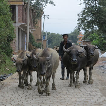 Rush hour near the village of Duoyishu, Yunnan (image credit: Chiara Ferraris)