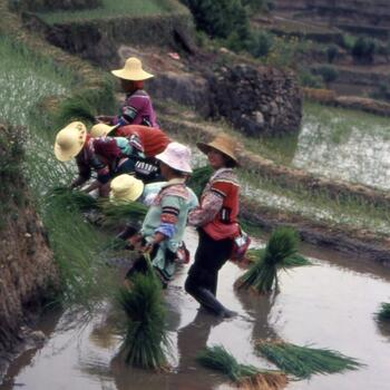 Planting the annual rice crop before the summer monsoon season (image credit: Jim Goodman)