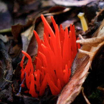 Clavaria fungus growing in the Nabanhe Reserve, Yunnan (image credit: Andrew Stevenson)