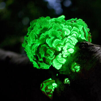 A time exposure of the bioluminescent fungus species Panellus stipticus (image from Wikipedia)