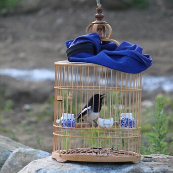 A caged oriental magpie-robin sings outside Dali Old Town