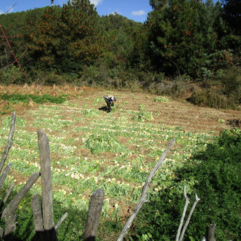 Harvesting Chinese turnips – called manjing – near Wenping Village