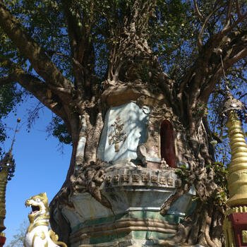 A small temple, wrapped in a tree in Mangshi, Yunnan (image credit: Vera van de Nieuwenhof)