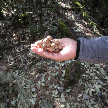 A cluster of oak chestnuts cradled in the hand