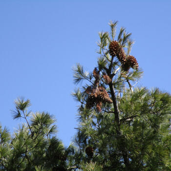 Pine cones at top of a tree