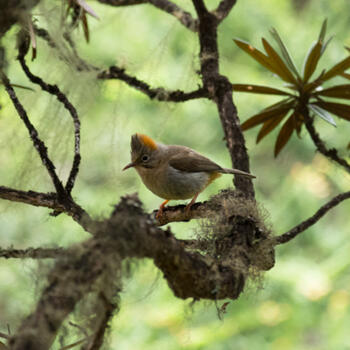 Roufus-vented yuhina in Laojunshan's high country